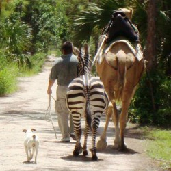 Walking the Animals at Ngala