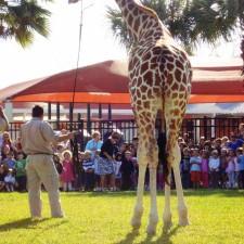 Coulter the Giraffe School Presentation